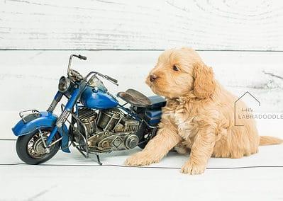 puppy1 week5 mini australian labradoodles puppies spokane wa breeder hypoallergenic littlelabradoodle.com web8